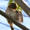 DSC_3201 House Wren Aug 22 2016
