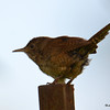 DSC_3181 House Wren Aug 22 2016
