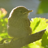 DSC_3182 House Wren Aug 22 2016