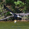 DSC_4141 Bald Eagle Sept 11 2016