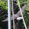 DSC_4142 Bald Eagle Sept 11 2016