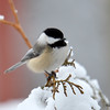 DSC_0993 Black-capped Chickadee Feb 28 2016