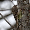 DSC_0829 Brown Creeper Feb 19 2016