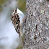 DSC_0831 Brown Creeper Feb 19 2016