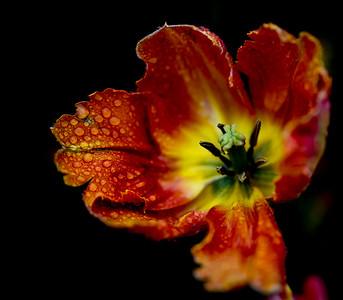 Tulip Insides