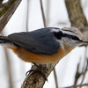DSC_0381 Red-breasted Nuthatch Jan 30 2016