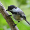 DSC_2746 Black-capped Chickadee July 15 2016