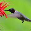 DSC_2727 Ruby-throated Hummingbird July 15 2016
