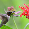 DSC_2724 Ruby-throated Hummingbird July 15 2016