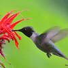 DSC_2729 Ruby-throated Hummingbird July 15 2016