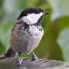 DSC_2742 Black-capped Chickadee July 15 2016