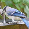 DSC_2666 Blue Jay July 8 2016