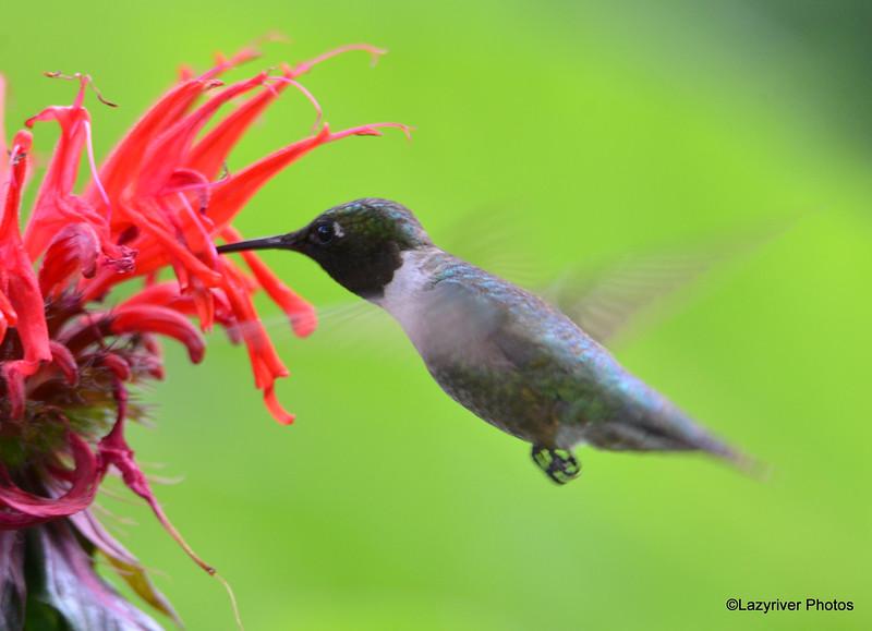 DSC_2730 Ruby-throated Hummingbird July 15 2016