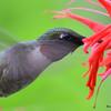 DSC_2770 Ruby-throated Hummingbird July 16 2016