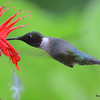 DSC_2785 Ruby-throated Hummingbird July 16 2016