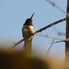 DSC_2706 Ruby-throated Hummingbird July 11 2016