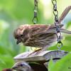 DSC_2754 Purple Finch July 15 2016