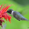 DSC_2786 Ruby-throated Hummingbird July 16 2016