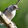 DSC_2717 White-breasted Nuthatch July 15 2016