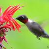 DSC_2726 Ruby-throated Hummingbird July 15 2016
