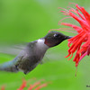 DSC_2782 Ruby-throated Hummingbird July 16 2016