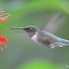 DSC_2775 Ruby-throated Hummingbird July 16 2016