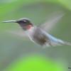 DSC_2774 Ruby-throated Hummingbird July 16 2016
