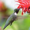 DSC_2722 Ruby-throated Hummingbird July 15 2016