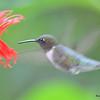 DSC_2776 Ruby-throated Hummingbird July 16 2016