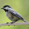 DSC_2745 Black-capped Chickadee July 15 2016