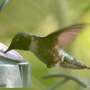 DSC_3099 Ruby-throated Hummingbird July 27 2016