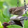 DSC_2757 Purple Finch July 15 2016