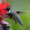 DSC_2719 Ruby-throated Hummingbird July 15 2016