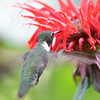 DSC_2721 Ruby-throated Hummingbird July 15 2016
