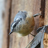 DSC_2779 Red-breasted Nuthatch July 16 2016