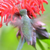 DSC_2720 Ruby-throated Hummingbird July 15 2016