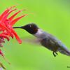 DSC_2728 Ruby-throated Hummingbird July 15 2016