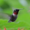 DSC_2771 Ruby-throated Hummingbird July 16 2016