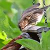 DSC_2755 Purple Finch July 15 2016