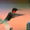 DSC_2710 Ruby-throated Hummingbird July 15 2016