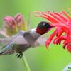 DSC_2725 Ruby-throated Hummingbird July 15 2016