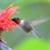 DSC_2772 Ruby-throated Hummingbird July 16 2016