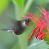 DSC_2777 Ruby-throated Hummingbird July 16 2016
