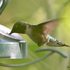 DSC_3098 Ruby-throated Hummingbird July 27 2016