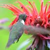 DSC_2748 Ruby-throated Hummingbird July 15 2016