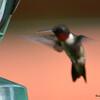 DSC_2711 Ruby-throated Hummingbird July 15 2016
