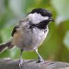 DSC_2739 Black-capped Chickadee July 15 2016