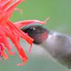 DSC_2773 Ruby-throated Hummingbird July 16 2016