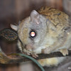DSC_2509 Flying Squirrel June 30 2016
