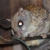 DSC_2510 Flying Squirrel June 30 2016